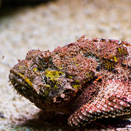 Stonefish aka Rockfish