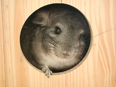 chinchilla in wooden box