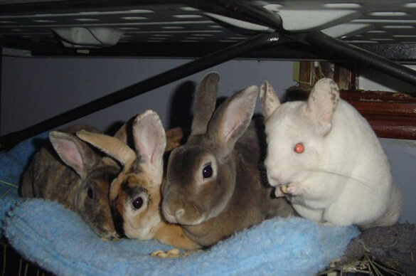 chinchilla with rabbits