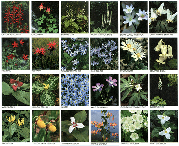 Flowers of the Great Smoky Mountains