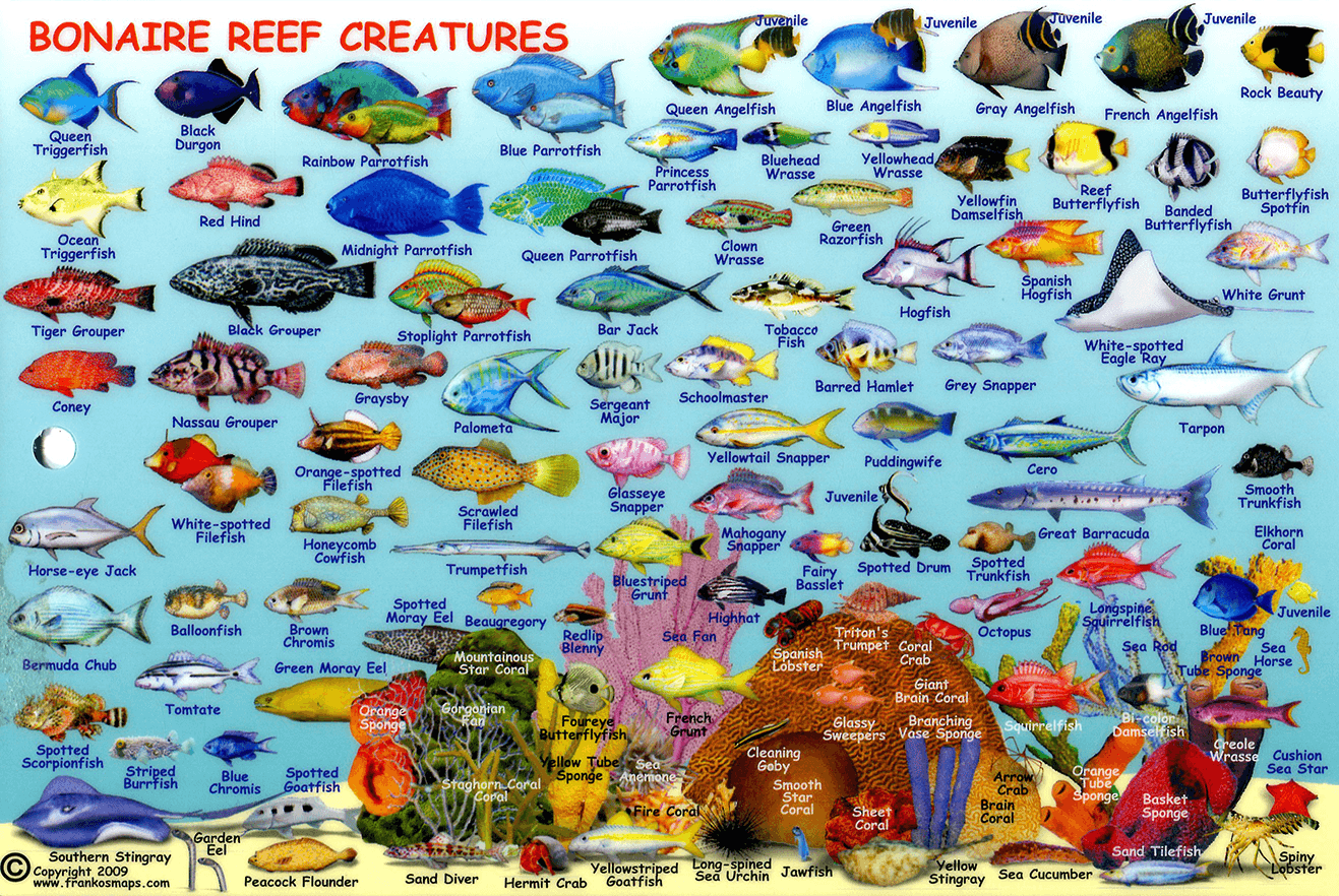Compact guide to bonaire reef fish and creatures infolific for Hawaiian fish names