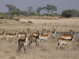 Red Lechwe Were Everywhere