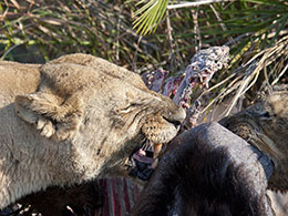 Lioness Feasting on a Buffalo