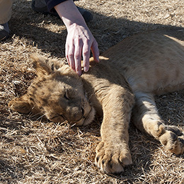 Petting a Lion Cub at a Preserve