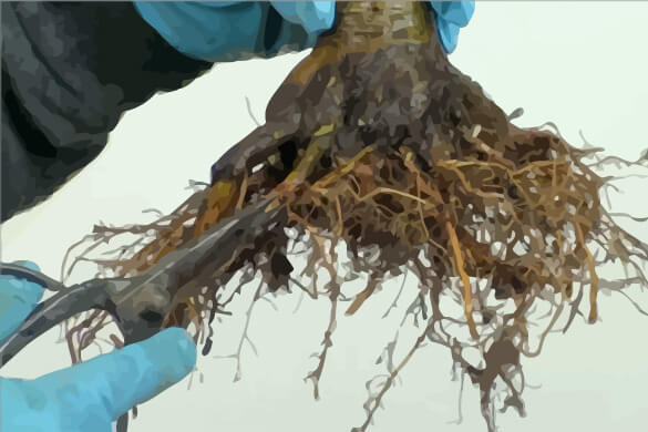 Bonsai Root Pruning And Repotting Infolific