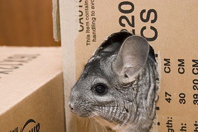 chinchilla in cardboard box