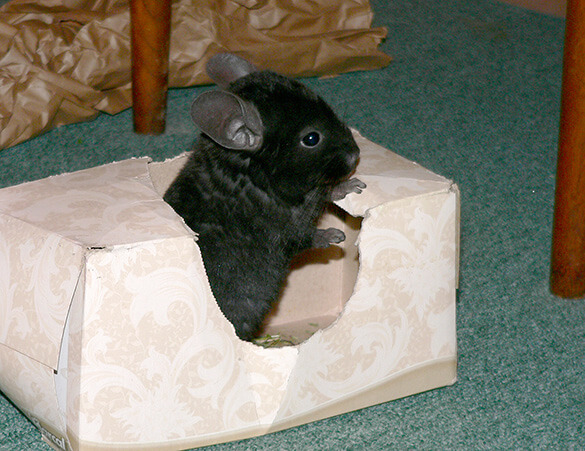 chinchilla in tissue box
