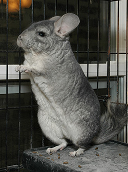 chinchilla standing