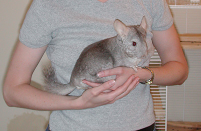 holding a chinchilla