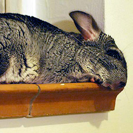Warm Chinchilla