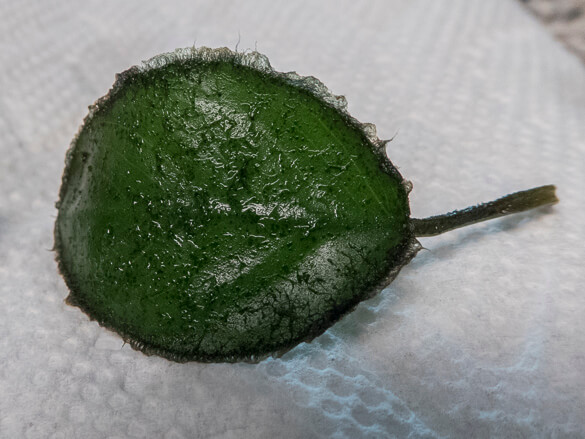 Anubias Leaf Covered With Algae