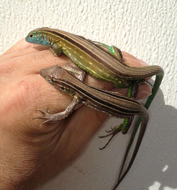 Rainbow Whiptail Lizards