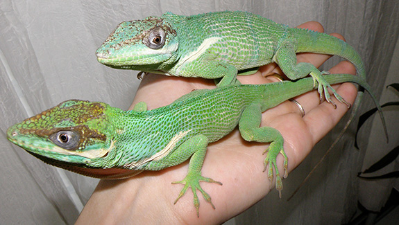 Two Knight Anoles on Hand