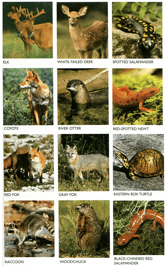 Animals of the Great Smoky Mountains