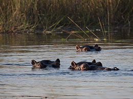 3 Of The 10 or So Hippos We Came Across