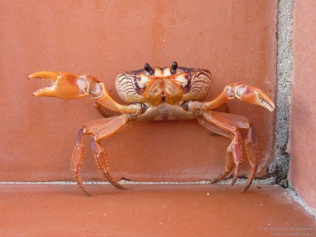 Crab on Steps of Villa Safir