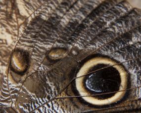 Owl Butterfly Wing Close-Up