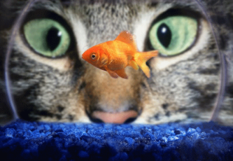 Big Cat, Little Goldfish