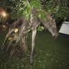Drunk Moose in a Tree