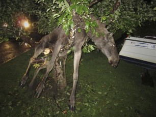 Drunk Moose in a Tree